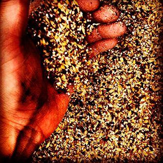grano de cebada para elaboracion de cerveza